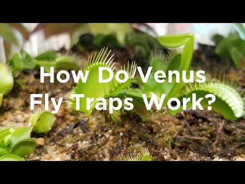 How do venus fly traps work? (5th - 8th grade)
