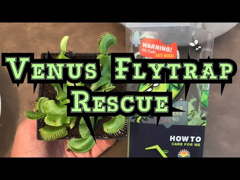 """Venus flytrap """"death cube"""" rescue - how to repot and save this flytrap"""