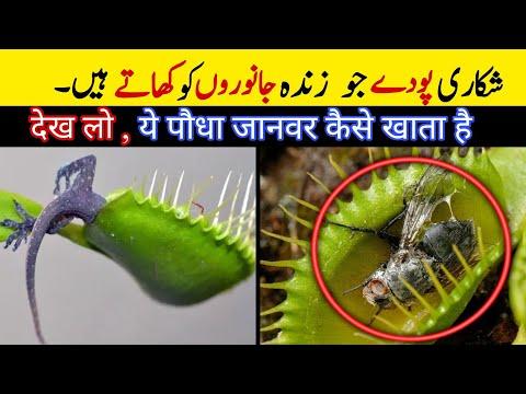 Carnivorous plants   5 carnivorous plants eat animals   venus fly trap   poisonous plants