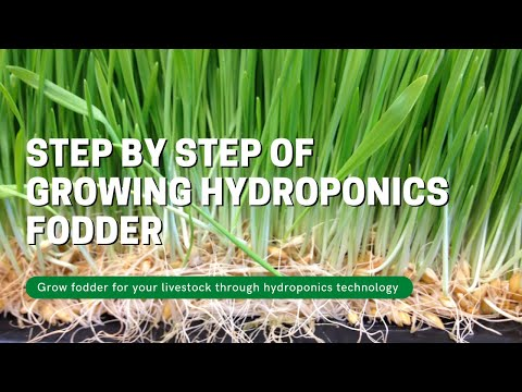 Step by step of growing hydroponics fodder