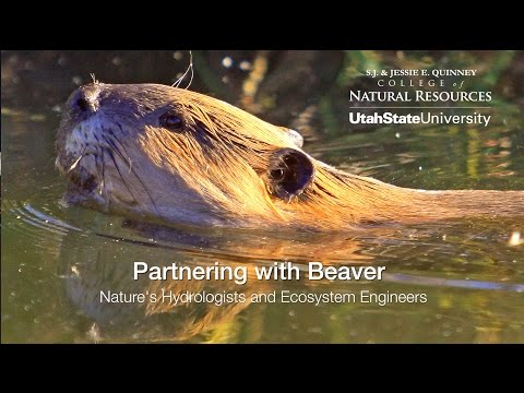 Partnering with beaver: nature's hydrologists and ecosystem engineers