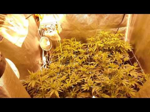 (scrog) why should i trellis net my plants?