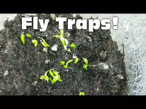 How to grow venus flytraps from seed!