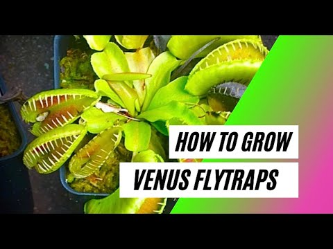 How to grow a venus flytrap - basic care guide