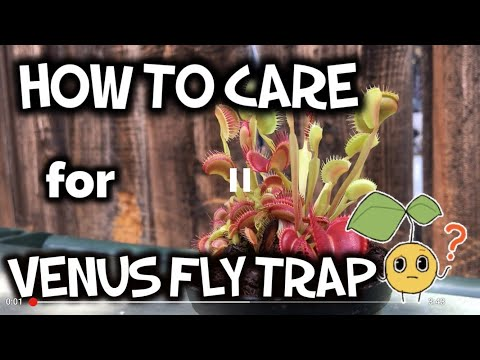 How to care for venus fly trap