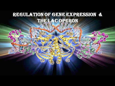 Regulation of gene expression & lac operon