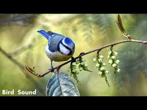 Birds sounds, nature music, birdsong sound, bird music relaxing, relaxing birds sounds.