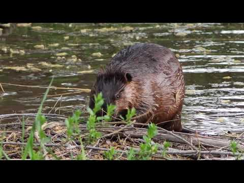 Beaver at the pond