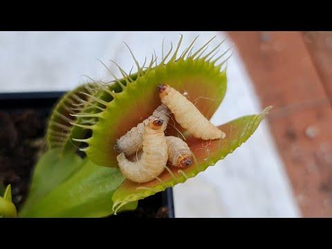 Feeding 4 worms to a venus flytrap carnivorous plant