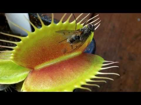 Venus flytrap catching an insect