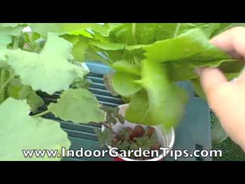 Growing vegetables in hydroponic containers on my balcony