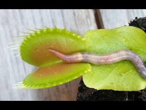 Worm crushed by venus flytrap