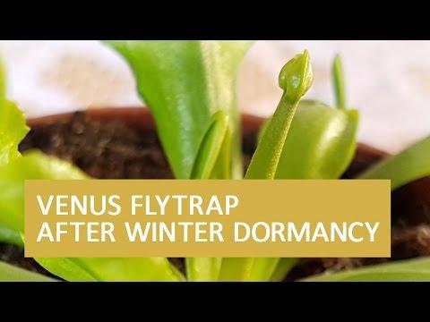 Venus flytrap after winter dormancy | baby venus flytrap and a flower?