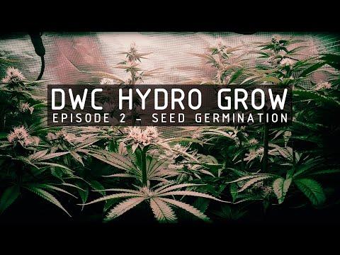 Dwc hydroponic cannabis grow ep 2. germination & seedlings