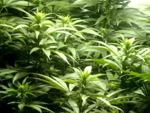How to give your plants co2 when you cant afford a co2 generator