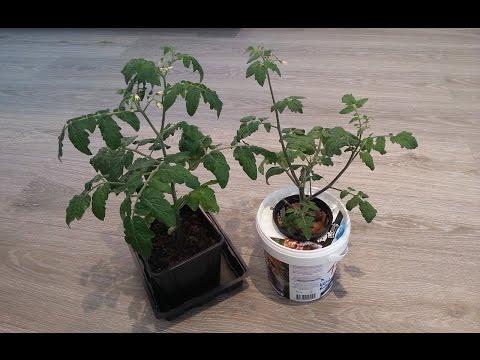 Tomato hydroponic vs soil experiment