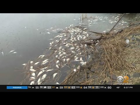 Environmental officials believe bacteria is to blame for dead fish in new jersey waters