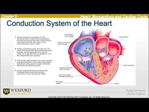 Circulatory response to exercise