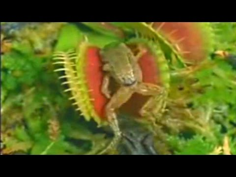 Venus flytrap eats frog and moth! - killer carnivorous plant eating toad & flying insect - fly trap