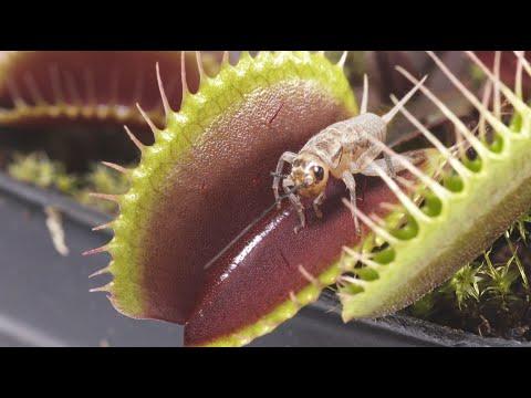 Venus fly traps eating - slow motion 4k