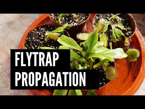 Venus flytrap propagation by dividing the bush
