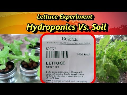 Lettuce experiment: hydroponics vs. soil, which is better?