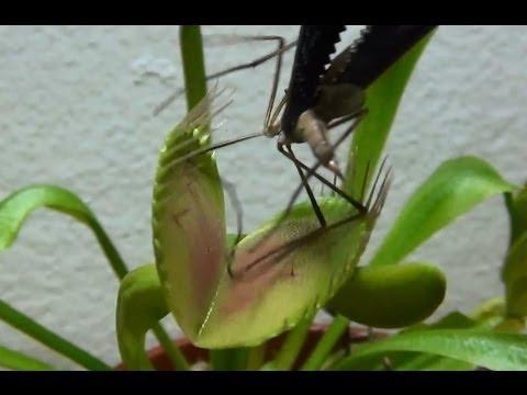 Venus flytrap eats huge insect
