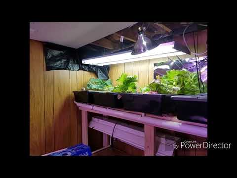 Safe romaine lettuce - growing in your house with hydroponics!