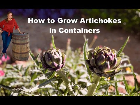 How to grow artichoke plants in containers step by step