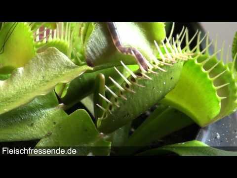 Venus fly trap eats worm - venusfliegenfalle vs wurm