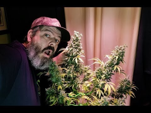 Massive avt autoflower harvest with an inside look at foxtails
