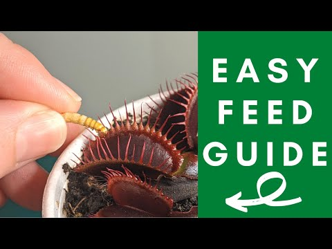 The ultimate venus flytrap feeding guide: simple steps to feed your venus flytrap