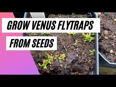How to grow venus flytrap seeds