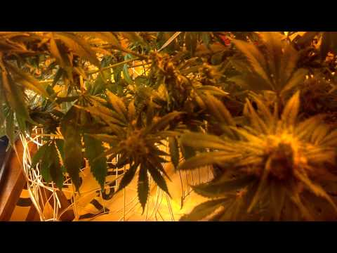 General hydroponics flora dwc feeding schedule update 2