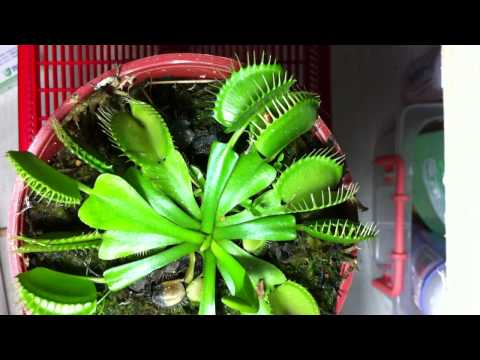 Venus flytrap eating mealworms