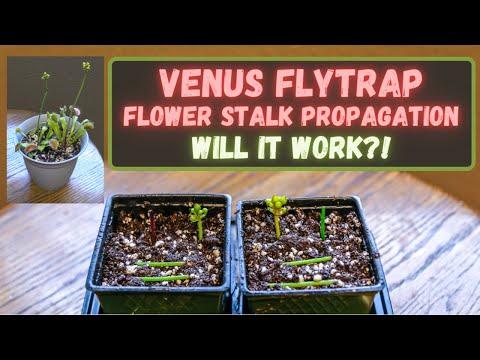 Venus flytrap flower stalk propagation: grow venus flytraps from flower stalk cuttings will it work?