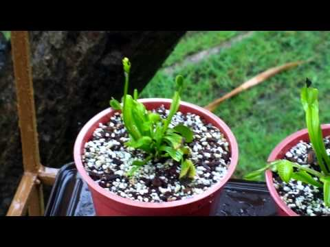 Venus fly trap flower stalks