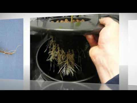 Avoiding root rot | hydroponics nova scotia