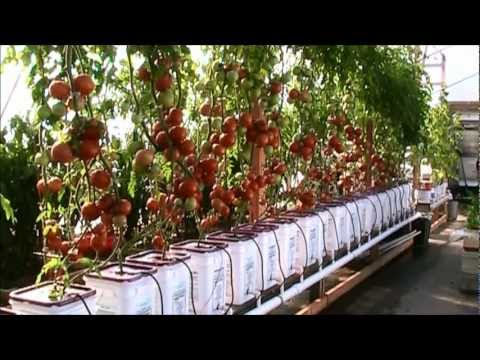 Dutch bucket hydroponic tomatoes - lessons learned and a new crop