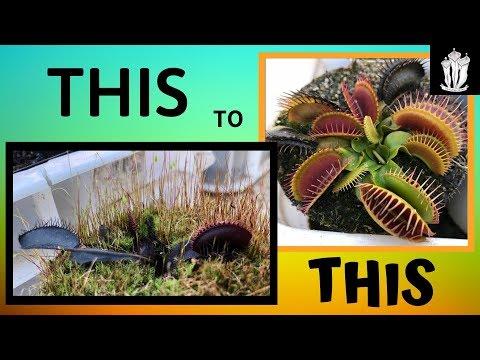 Venus flytrap care guide - basic care for the venus flytrap