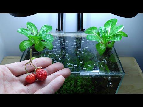 Ep.13 lettuce betta tank (the last of strawberries) no filter, no co2, no ferts nano tank
