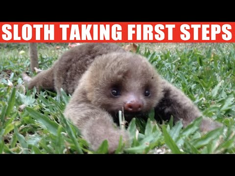 Cute baby sloth taking first steps | jaw-dropping compilation