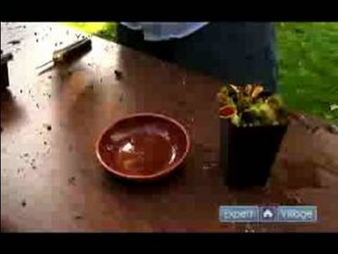 How to care for a venus flytrap : watering a venus flytrap