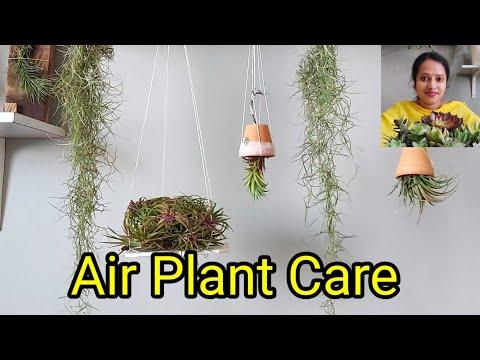 Air plant care in telugu #airplant #tillandsia #groplants