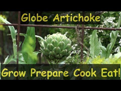 How to grow globe artichokes prepare cook & eat them