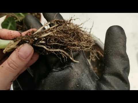 Black velvet alocasia reginula: how to treat, clean roots and convert to passive hydroponics