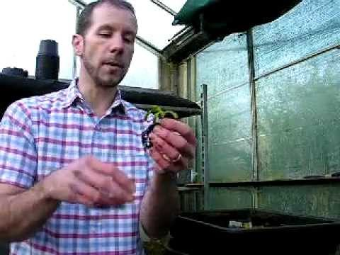 How to repot a venus fly trap