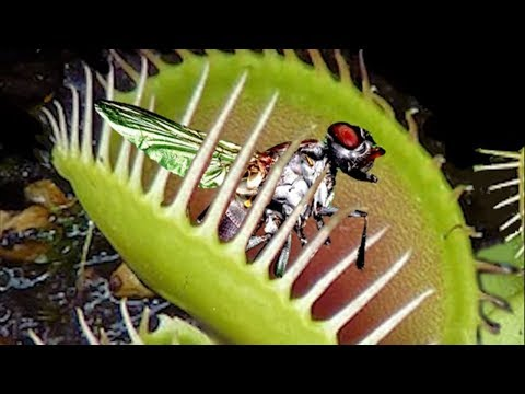 Carnivorous plants you should never touch