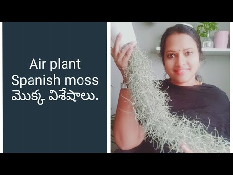 Airplant spanish moss care/propagation of airplant/#airplants/#tillandsia/groplants