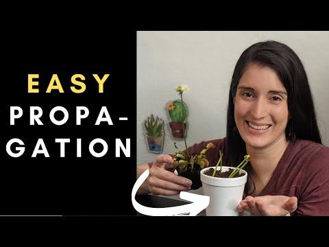 Step-by-step guide to venus flytrap flower stalk propagation 🌱 (under 7 minutes!)
